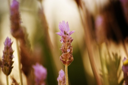 lavender-414455_960_720