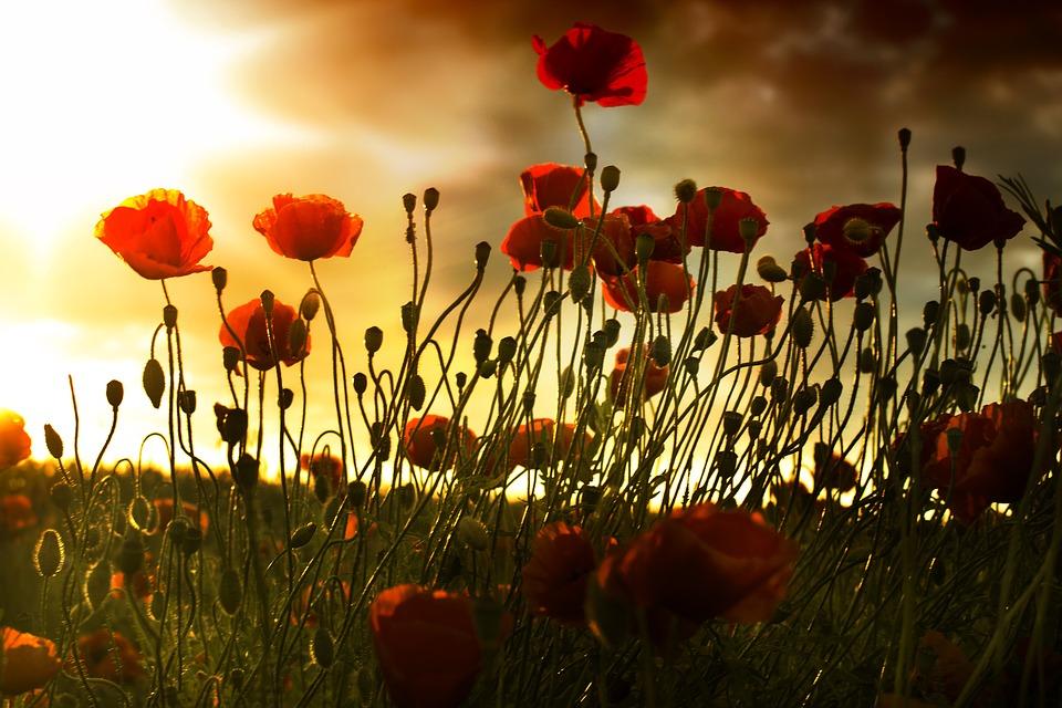 poppy-2578514_960_720