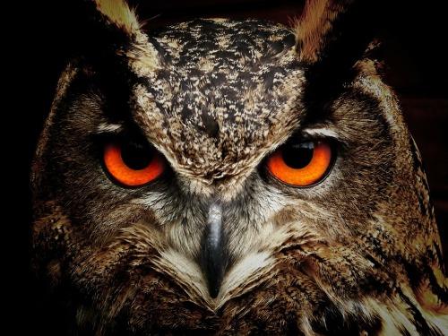 owl-50267_1280