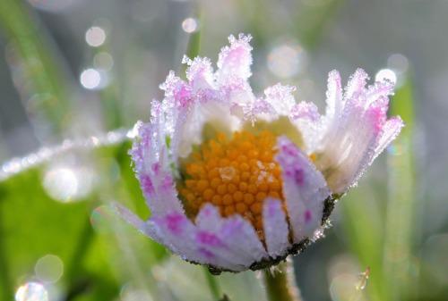 daisy-1336175_1280