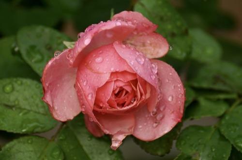 rose-2596141_1280