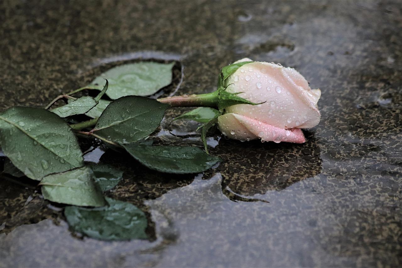 pink-rose-in-rain-4205779_1280